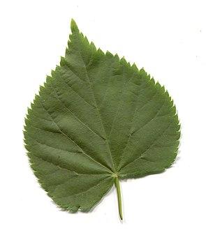 Leaves in summer. Leaf of common tilia.jpg