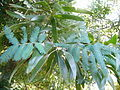 Leaves of Acacia melanoxylon.jpg