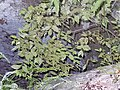 Leaves of Diospyros ebenum.jpg