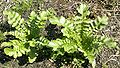 Leaves of Japanese Radish.jpg
