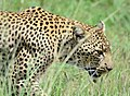 Leopard (41472554).jpeg