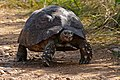 Leopard Tortoise (Stigmochelys pardalis) (32793159916).jpg