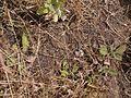 Lepidagathis trinervis Nees (6425416693).jpg