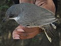 Lesser Whitethroat (4820472039).jpg