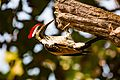 Lesser flame-backed Woodpecker.jpg