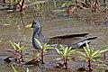 Lesser moorhen (Paragallinula angulata).jpg