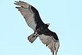 Lesser yellow-headed Vulture (Cathartes burrovianus) (7222756898).jpg