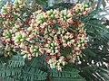 Libidibia coriaria - Divi-divi Tree - Caesalpinia coriaria - WikiSangamotsavam 2018, Kottappuram, Kodungalloor (15).jpg
