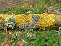 Lichen on Willow - geograph.org.uk - 1274062.jpg