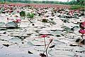 Lillies - panoramio.jpg