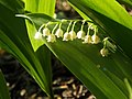 Lily of the Valley - panoramio.jpg