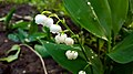 Lily of the valley in Yerevan 01.jpg