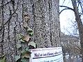 Lime tree on Lahn river bank in Marburg - Lindenallee am Trojedamm, Naturzerstörung durch Wehr-Umbau befürchtet 2018-04-03.jpg