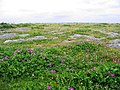 Limestone slabs and flowers, near Doolin - geograph.org.uk - 296789.jpg