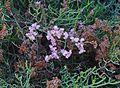Limonium tuberculatum 002.jpg
