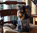 Lion cut tortoiseshell Persian.jpg