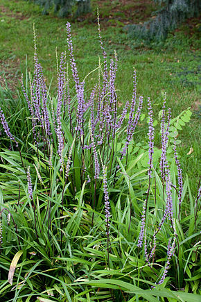 Description de l'image Liriope muscari - Floraison.jpg.