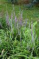 Liriope muscari - Floraison.jpg
