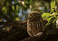 Little Owl (164649159).jpeg
