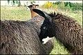 Llamas - panoramio.jpg