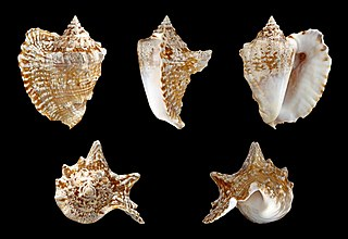 <i>Lobatus raninus</i> species of mollusc