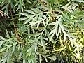 Lomatiasilaifolia39192687065 bdf2fb3f9d o.jpg