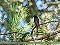 Long-tailed Minivet (Pericrocotus ethologus) (37287159330).jpg