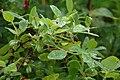 Lonicera caerulea L2.jpg