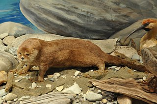 Southern river otter species of mammal