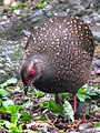 Lophura swinhoii, female, Daxueshan, Taichung, Taiwan (12576341815).jpg