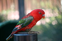 Lorius garrulus -Six Flags Discovery Kingdom-8a.jpg