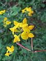 Lotus corniculatus var japonicus.jpg