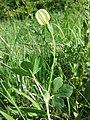 Lotus maritimus (var. siliquosus) sl32.jpg