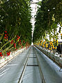 Lufa Farms Tomato Rows.jpg