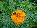 Luigi Versaggi - The flower and the...inseminator (by-sa).jpg