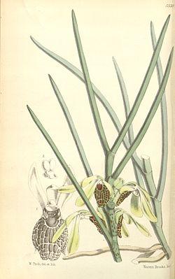 Luisia psyche - Curtis' 92 (Ser. 3 no. 22) pl. 5558 (1866).jpg