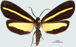 <i>Lyces striata</i> species of insect