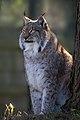 Lynx 3 (8489709018).jpg