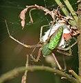 Lynx Spider (Oxyopes viridanus) in Hyderabad, AP W IMG 9274.jpg