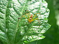 Lynx spider crop1.jpg