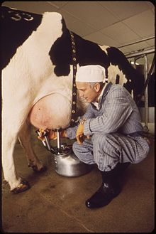 MILKING TIME ON EXPERIMENTAL FARM OPERATED BY EPA'S NATIONAL RESEARCH CENTER. MILK IS TESTED FOR RADIATION COUNT - NARA - 548961.jpg