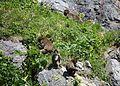 Macaca fuscata (flocks).JPG