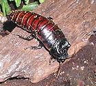 Madagascan.hissing.cockroach.750pix.jpg