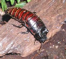 Combatir cucarachas con un método poco tóxico y efectivo