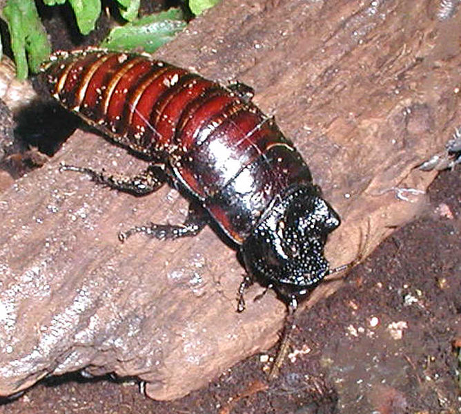 Datei:Madagascan.hissing.cockroach.750pix.jpg