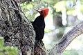 Magellanic Woodpecker (Campephilus magellanicus) (15959514362).jpg