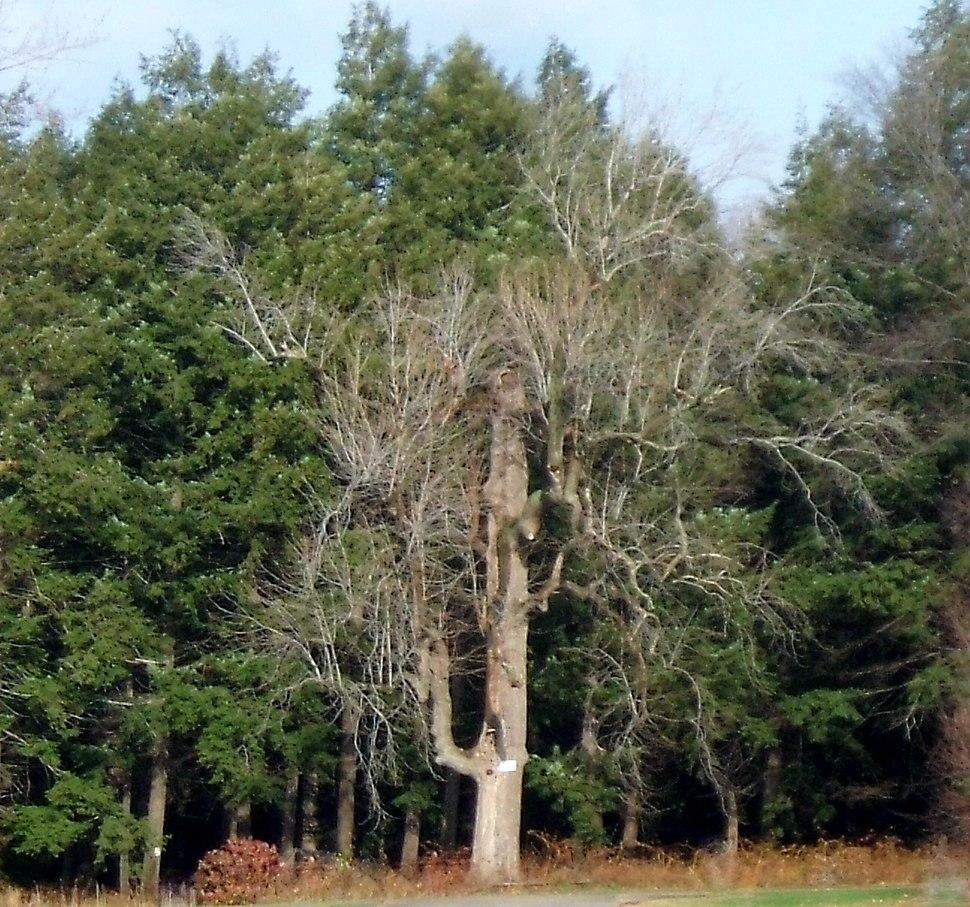 Magnolia Tree - panoramio