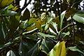 Magnolia grandiflora au Plateau des poètes008.JPG