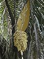 Male inflorescence of Attalea sp.jpg