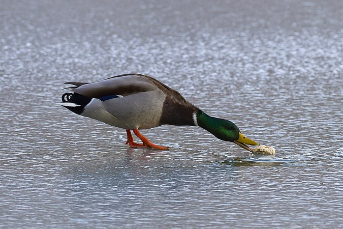 Mallard duck eating bread.jpg